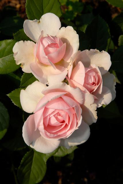 Trandafiri roz pentru gradina