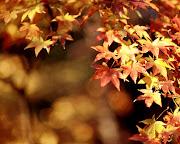 Lindas hojas de maple. Wallpaper de bonita rama llena de hojas de maple. lindas hojas de maple