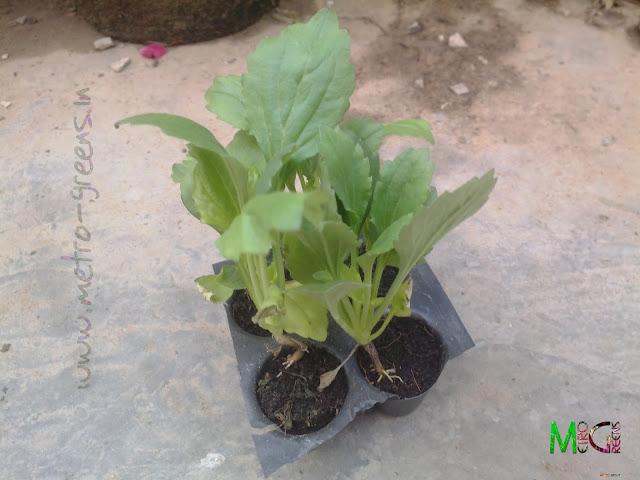 Metro Greens: Aster Seedlings