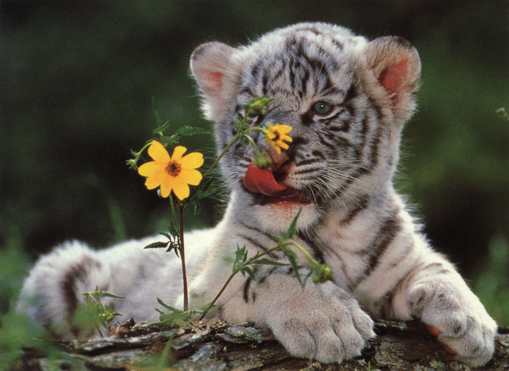 TIGER WALLPAPERS: White Tiger Cub Wallpapers