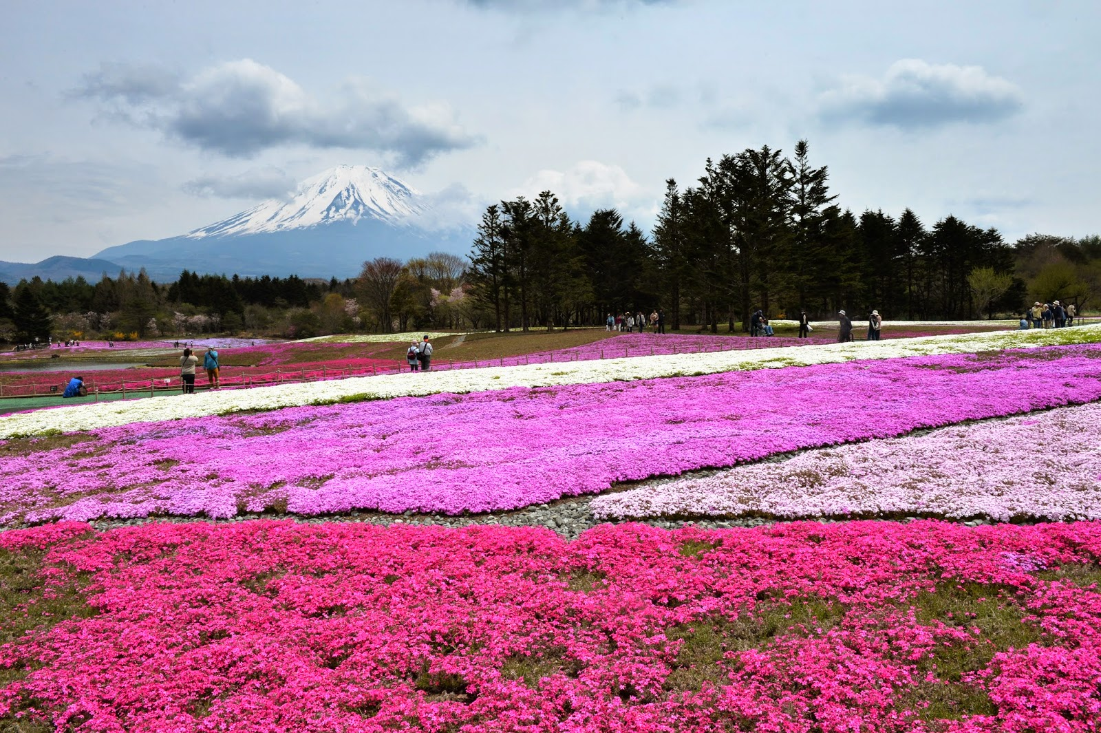 Fuji Shibazakura Festival 2014 Photo Images Archival Store