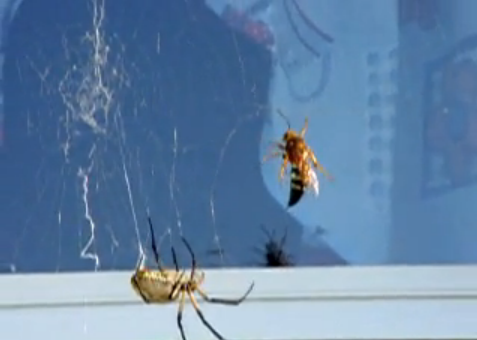 Araña contra avispa