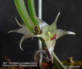 Octomeria elobata, Pleurothallis octomeriantha