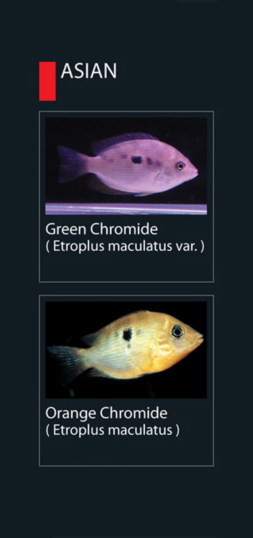 136 Jenis Ikan Hias Cichlids Populer Alam 101 Air Sumber Gambar Qian Hu Corporation