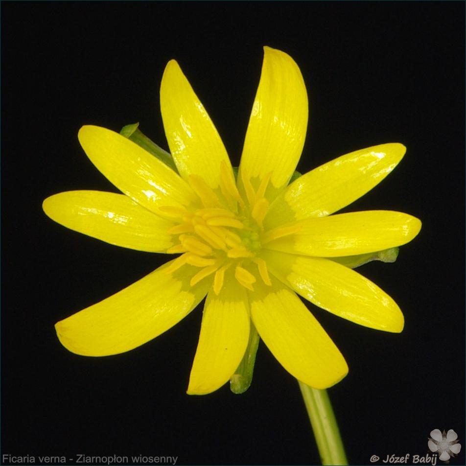 Ficaria verna - Ziarnopłon wiosenny kwiat
