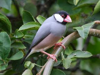 Habitat Burung Gelatik Yang Merupakan Burung Endemik Jawa Dan Bali