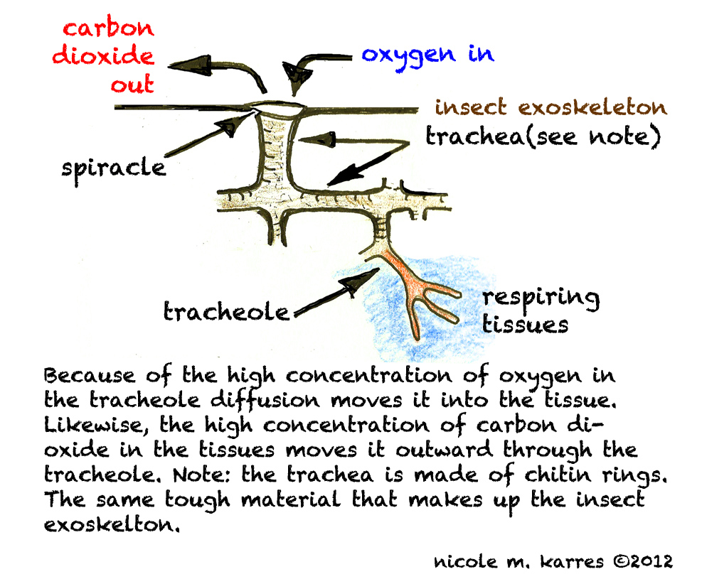 Notes on urban ecology insect respiration insect respiratory system ccuart Images