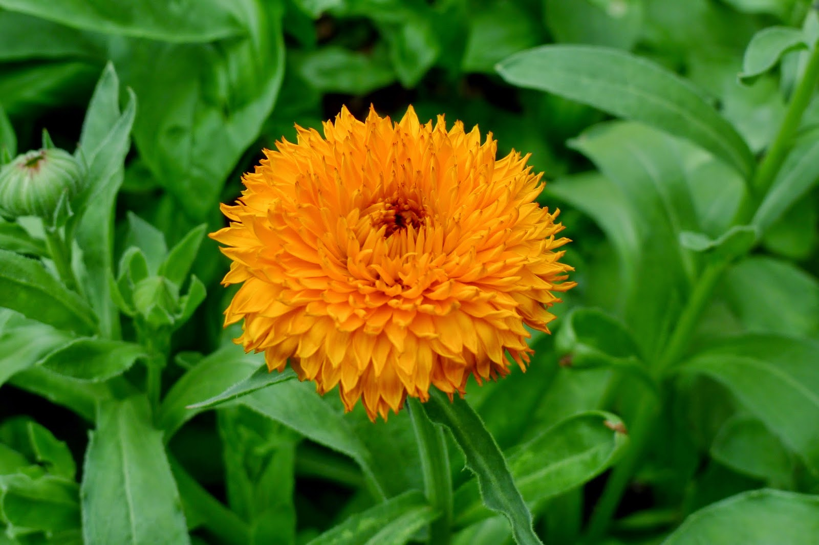 Less LLess Noise, More Green Edible Landscape Project, Calendula-Neon, Calendula officinalis, annual, edible flower