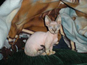 Mengenal Kucing Minskin