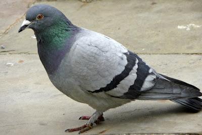 Pigeon Farming,
