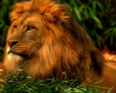HD Lion Wallpapers for Backgrounds