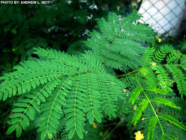 ipil ipil Leucaena leucocephala is a small fast-growing mimosoid tree native to southern mexico and northern central america ipil-ipil mon: ဖဝ်ရဂိုန်2.