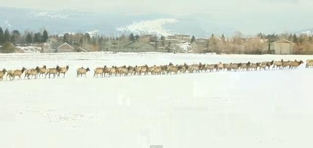 Massive Herd of Elk in Montana near Yellowstone (Video)