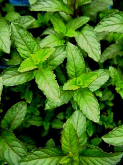Vive sana nuestras hierbas medicinales menta albahaca for Hierbas y plantas medicinales