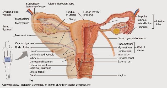 Fimosis y circuncisin en los nios y bebs - Bekia Padres