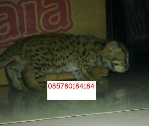 Koleksi Hewan Exotic Kucing Hutan Blacan