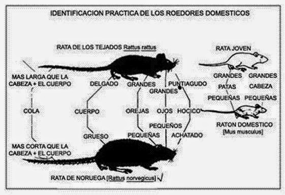 Info animales: CARACTERÍSTICAS GENERALES Y ANATOMÍA DE ROEDORES