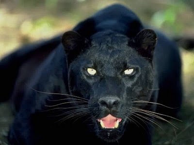 Black Panther animals Roaring Wallpaper