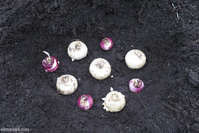 проростки гиацинта, посадка гиацинтов, осенняя, в открытый грунт, правила посадки, белые гиацинты, аленин сад, посадочная ямка, посадка гиацинтов, букетная посадка