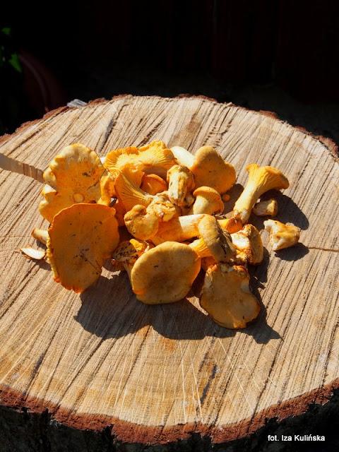 grzyby jadalne , podlasie , grzyby gatunkami , atlas grzybów , pieprznik jadalny , grzybobranie