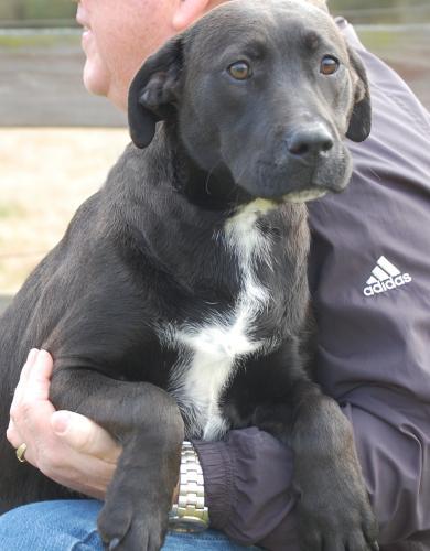 Black Labrador Retriever Mix