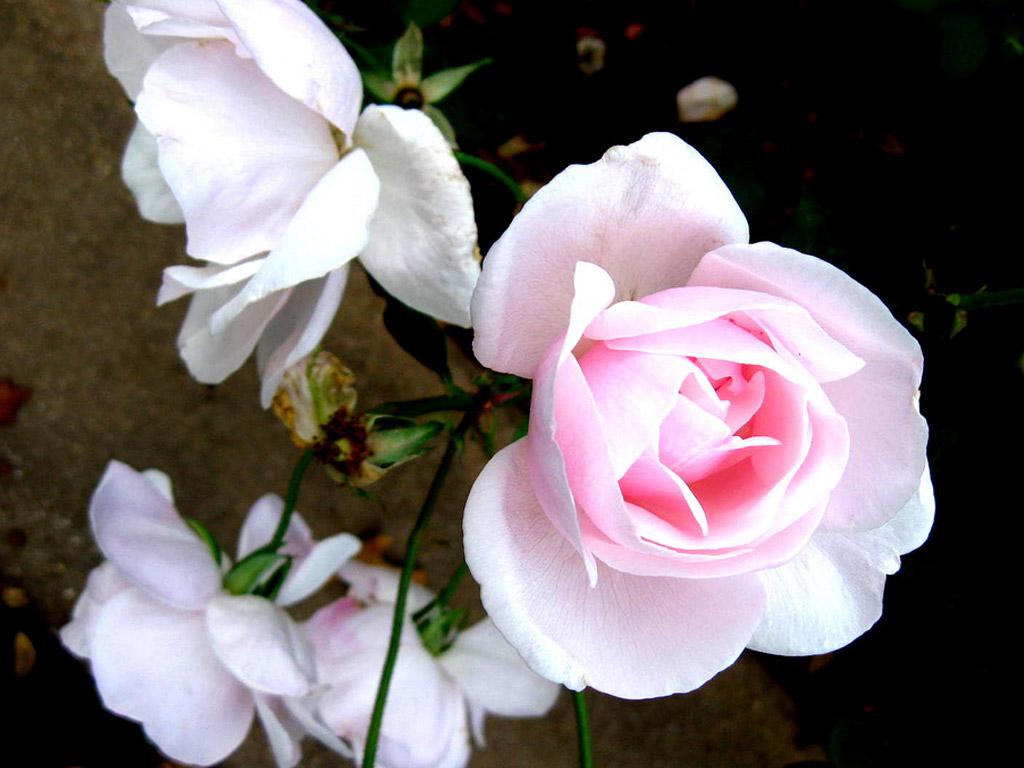 Beautiful Rose Flower Wallpaper Mobile Wallpapers