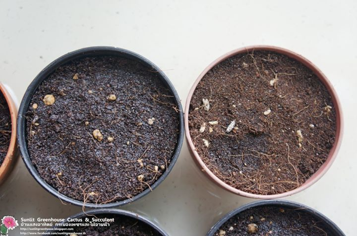 how to grow cactus from seed