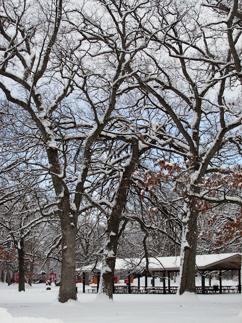 Snow-covered oaks near a picnic shelter