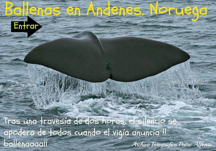 Ballenas en Andenes. Noruega