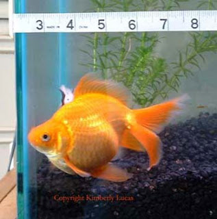 ... aquarium fish, aquarium fish, big aquarium fishes, large aquarium fish