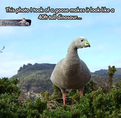 funny birds goose picture