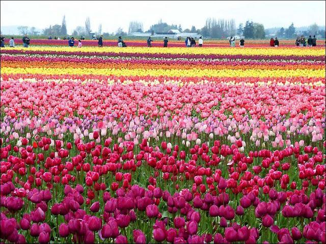 14 شهر مايو في هولندا  موسم حصاد زهور التوليب  جنة على الأرض
