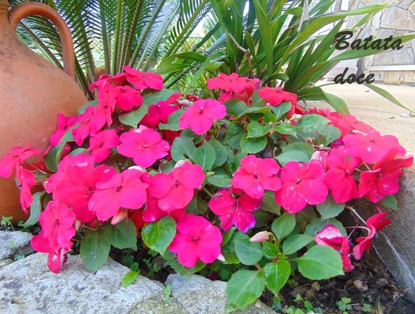 Impatiens ou alegria da casa cantinho verde horta e jardim - Alegria planta cuidados ...