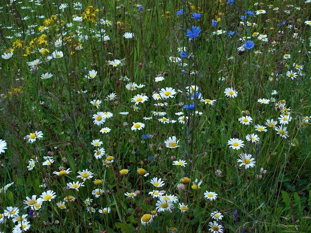 wild daisies. ccthompson. carlas victorian heirlooms.