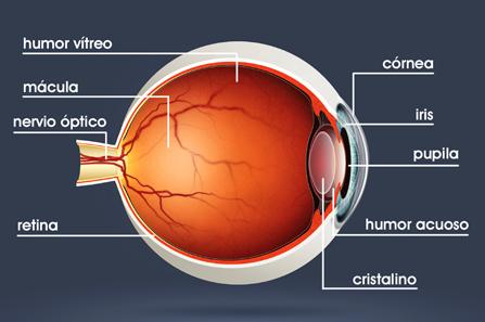 Se puede comparar el ojo humano con una cámara fotográfica: