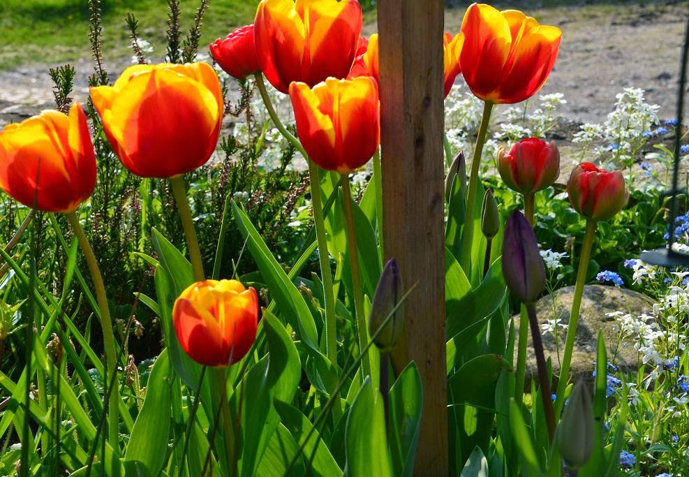 felix traumland tulpen tulpen und noch mal tulpen. Black Bedroom Furniture Sets. Home Design Ideas