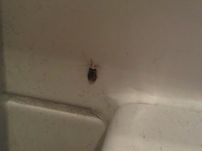 Motte mit weißem Kopf am Waschbecken