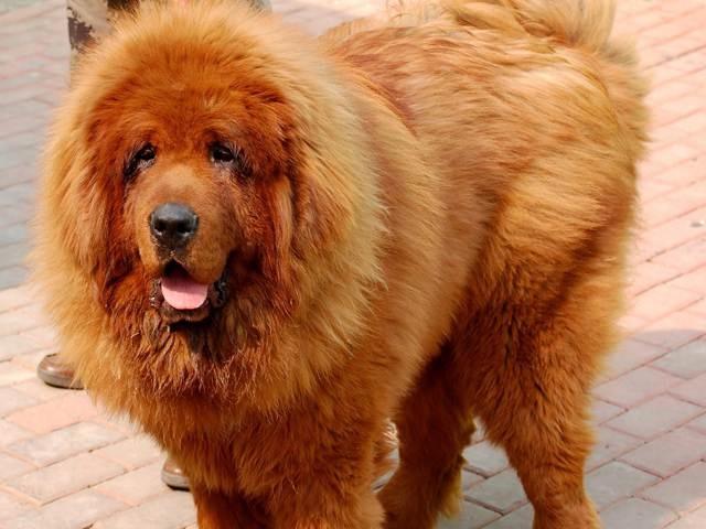 Tibetan mastiff tibetan mastiff like a lion deep brown colored tibetan