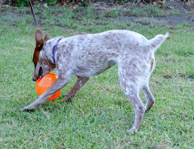 Australian Stumpy Tail Cattle Dog with Kong Jumbler ball.