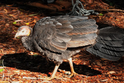 Australian Brush Turkey (Alectura lathami)