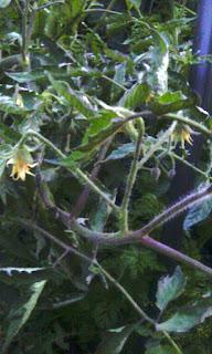 скрутка листьев помидоров