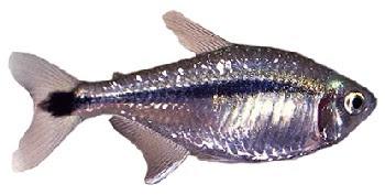 Tetra Risca Negra (Hyphessobrycon scholzei)