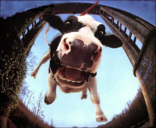 Bungee jumping cow