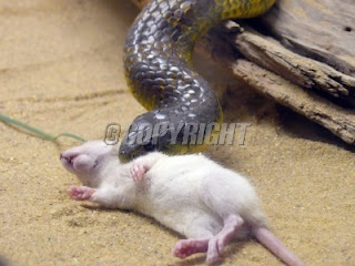Snakes: Snakes Eating Rats