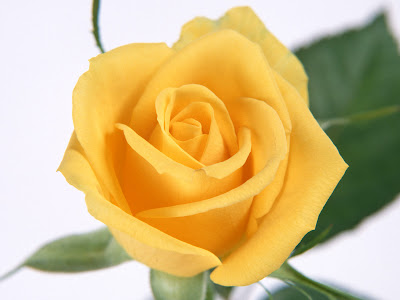 Yellow Rose Wallpaper for Desktop