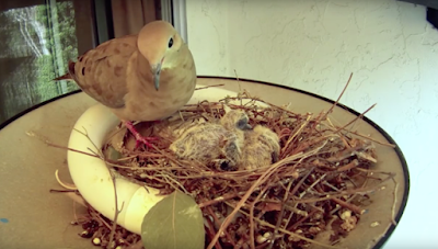 Why the baby doves died?