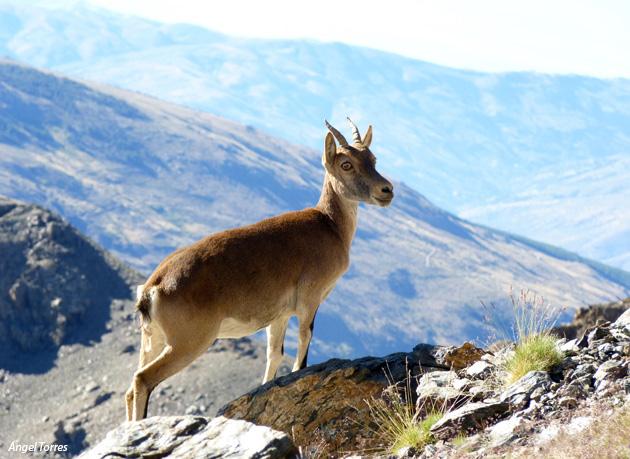 Cabra Montés