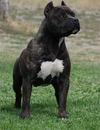 pet merry american staffordshire terrier