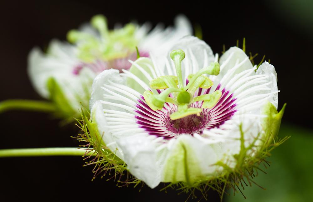 Magično cveće! Passion+Flower+16