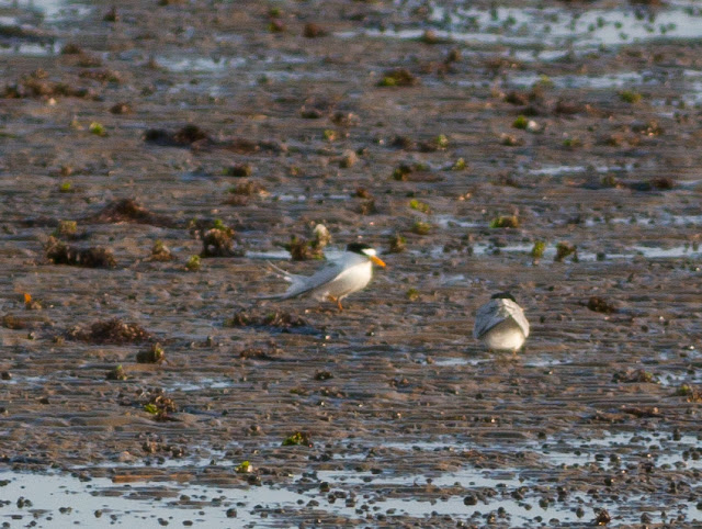 Least Terns - Doodletown, New York